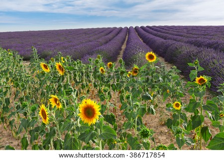 Sunflower and Lavender flowers field at summer day, Provence, France - stock photo