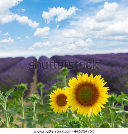 Sunflower and Lavender flowers field under blue sky, Provence, France