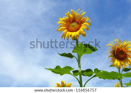 Sunflower and sky blue.