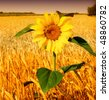 Sunflower and wheat - stock photo