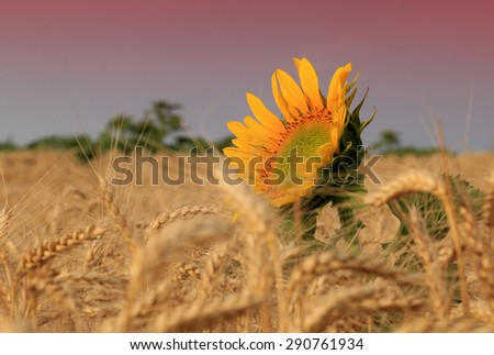 Sunflower and wheat field - stock photo