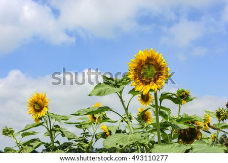 Sunflower and white cloud