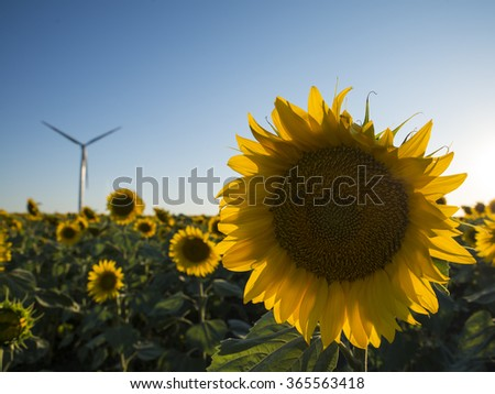sunflower and wind turbine - stock photo