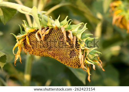 Sunflower are grown for seed.  - stock photo