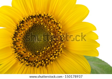 Sunflower are on a white background
