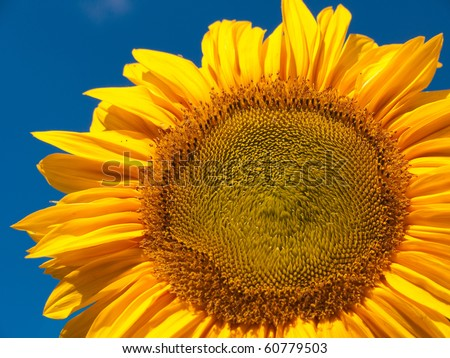 Sunflower at blue sky - stock photo
