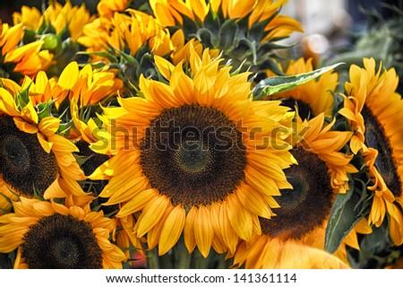 Sunflower at farmer market at Copley Square in Boston - stock photo