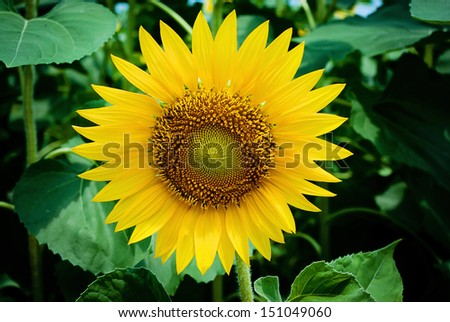 Sunflower at sunny summer day - stock photo