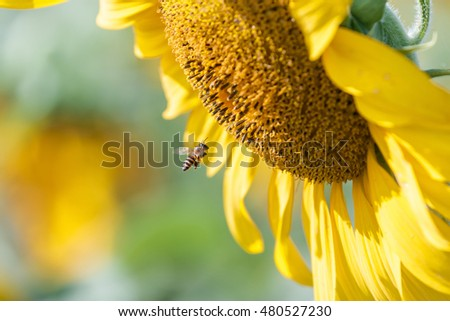Sunflower at sunrise,Bee fly to sucking sweet Nectar.