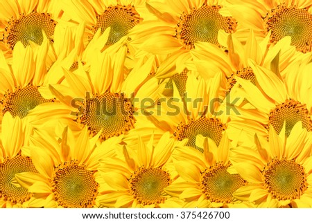 sunflower background texture - stock photo