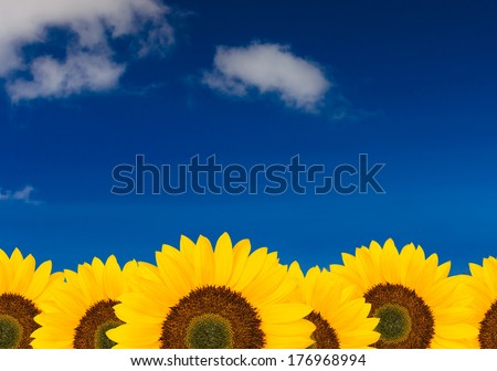 sunflower background with blue sky - stock photo