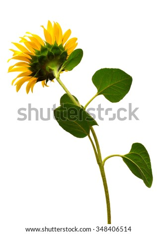 Sunflower behind isolated on white background