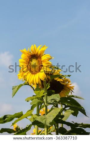 Sunflower bloom - stock photo