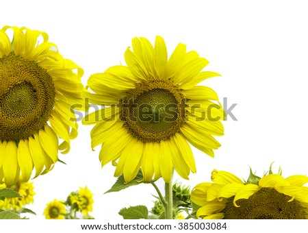 Sunflower blooming beautiful background pattern design.