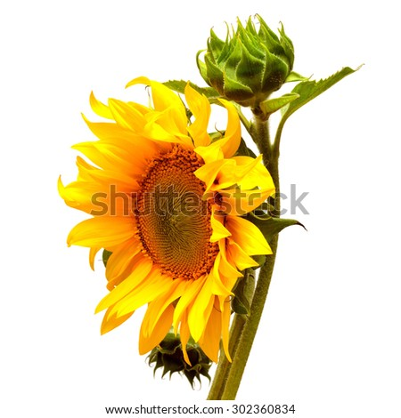 Sunflower blooming bud isolated on white background - stock photo
