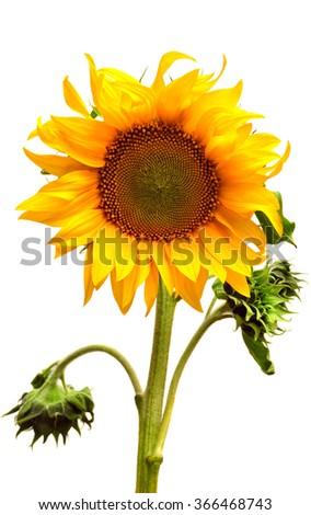 Sunflower blooming bud isolated on white background