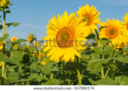 Sunflower blooming flowers on a farm on a background of blue sky - stock photo