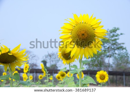 Sunflower blooming in the garden with bright yellow.