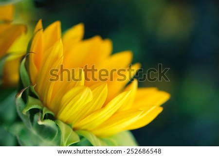 Sunflower blooming isolated on dark green background - stock photo