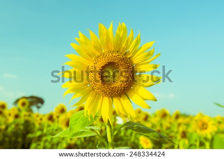Sunflower blooming. Retro filter. - stock photo