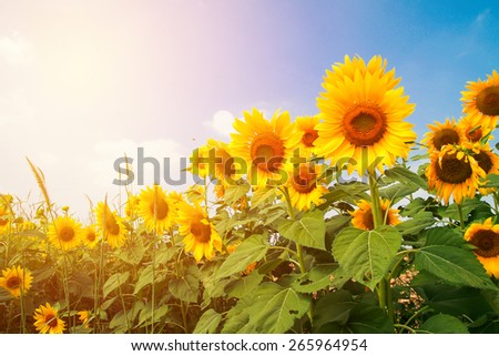 Sunflower blooming. Vintage filter. - stock photo