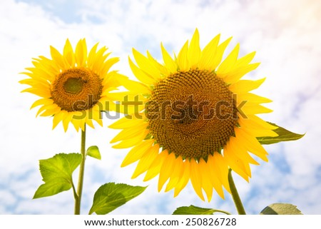 Sunflower blooming with bee - stock photo