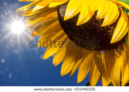 Sunflower blossom on a background of blue sky with the sun. Sunflower Flower against blue sky with the sun shining. The sun shines on a sunflower. - stock photo