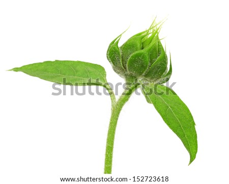 Sunflower bud - stock photo
