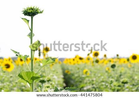 Sunflower bud against sunflower blooming on field - stock photo