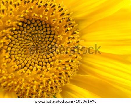 sunflower close up - stock photo