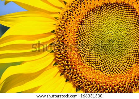 Sunflower Close-Up - stock photo