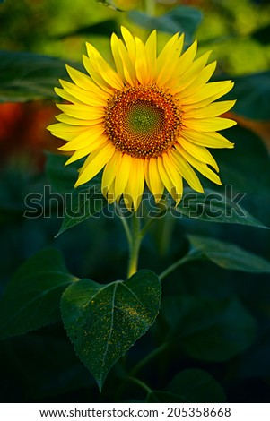 Sunflower close-up against green leafs. Shallow DOF. - stock photo