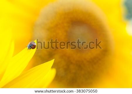 Sunflower close up. Bright yellow sunflowers. Sunflower background. Ladybug on a Sunflower. Ladybug close up. - stock photo