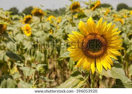Sunflower close up in sunflower field for background use - stock photo