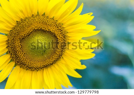 sunflower close up in sunflower meadow - stock photo