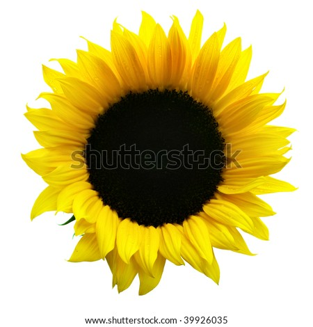 Sunflower close-up isolated over the white background - stock photo