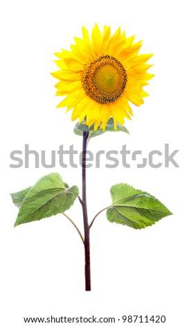 Sunflower. Close-up. Isolated. Studio - stock photo
