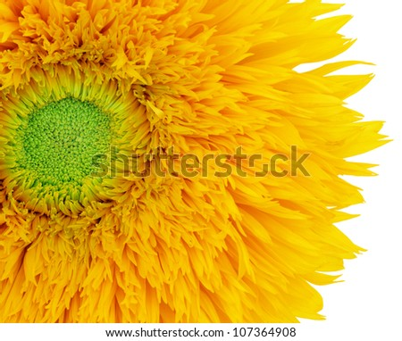 Sunflower close up on a white background. Focus on the stamens.