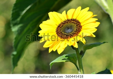 Sunflower closeup - stock photo