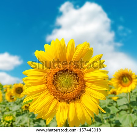 sunflower closeup on field and blue sky. soft focus