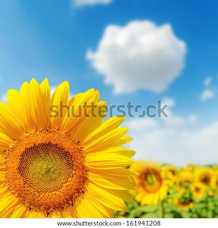 sunflower closeup on field and blue sky. soft focus on lower left corner - stock photo