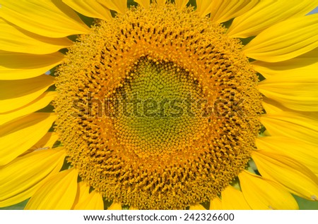 Sunflower closeup, petals, and the core