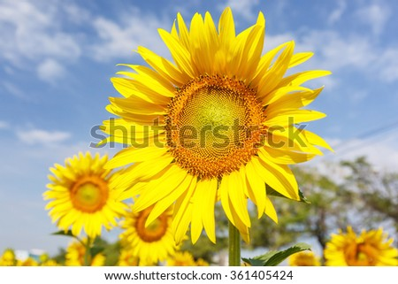 sunflower cloudy on blue sky and bright sun lights
