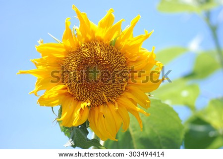 Sunflower Color