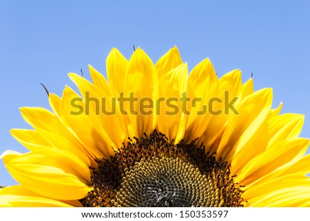 Sunflower  Cose Up
