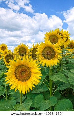Sunflower field. - stock photo