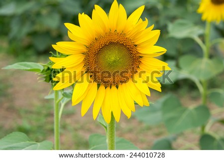 Sunflower field.  - stock photo