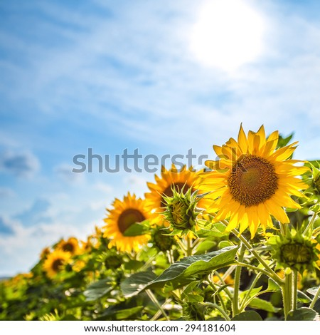 Sunflower field - stock photo