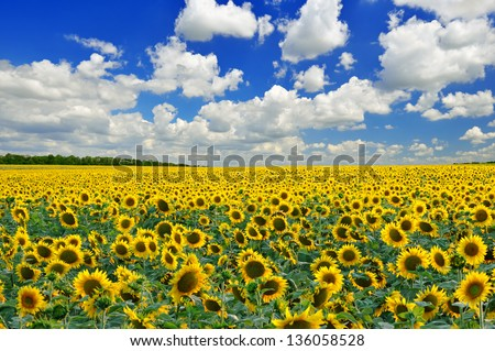 Sunflower field against a blue sky in sunny day - stock photo