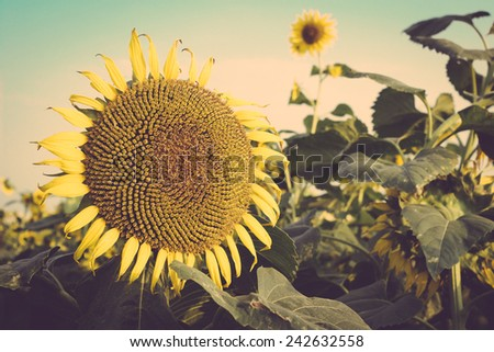 sunflower field against blue sky vintage retro - stock photo